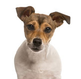 Close up of a Jack Russel Royalty Free Stock Photography