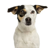 Close-up of a Jack russel terrier, isolated Royalty Free Stock Photography