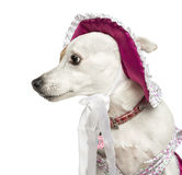 Close-up of a Jack russel wearing a hat, isolated Stock Photography