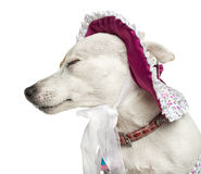 Close-up of a Jack russel wearing a hat, isolated Stock Photo