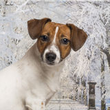 Close-up of a Jack russel in a winter scenery Stock Photo