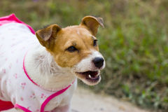 Close-up of Jack Russell , 2 year old Stock Photo