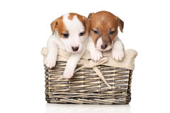 Close-up of Jack Russell puppies. Jack Russell terrier puppies in wicker basket on white background royalty free stock images
