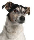 Close-up of Jack Russell Terrier, 12 years old Stock Photography