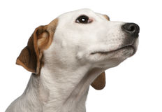 Close-up of Jack Russell Terrier, 16 months old Royalty Free Stock Photography