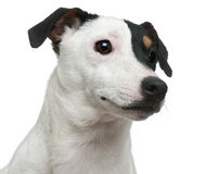 Close-up of Jack Russell Terrier Stock Photo