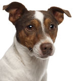 Close-up of Jack Russell Terrier, 3 years old Royalty Free Stock Images