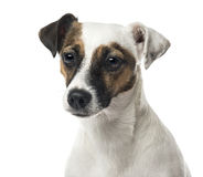 Close-up of a Jack Russell terrier, isolated Stock Photography