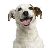 Close-up of a Jack Russell Terrier panting, 6 years old Stock Photography