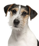 Close-up of Jack Russell Terrier puppy Royalty Free Stock Image