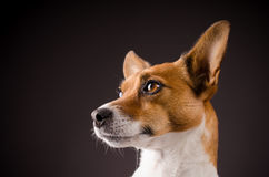 Close up of a Jack Russell Terrier Stock Photos