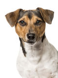 Close-up of a Jack Russell terrier, stock photo