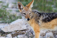 Close up of a jackal Royalty Free Stock Photo