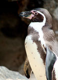 Close Up Jackass Penguin. Jackass Penguin Standing Looking Left Stock Photos