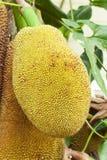 Close up of jackfruit Stock Images