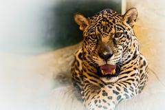 Close up jaguar. Jaguar portrait in the zoo Stock Images