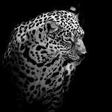 Close up Jaguar Portrait Stock Image