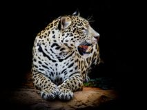 Close up Jaguar Portrait. Animal wildlife on black color background Royalty Free Stock Images