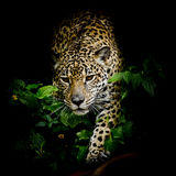 Close up Jaguar Portrait Royalty Free Stock Photography