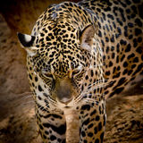 Close up Jaguar Portrait Stock Photo