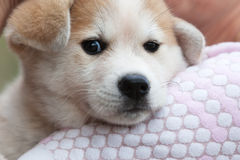 Close up of Japanese Akita Inu puppy Stock Image