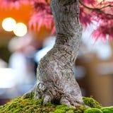 Close up japanese maple tree Acer palmatum as bonsai. With bark stock photo