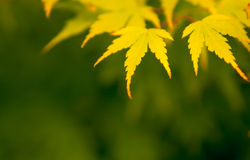 Close-up Japanese Maple yellow leaves Stock Image