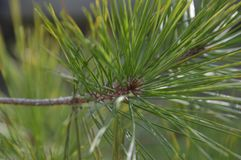 Close Up Of A Japanese Pinetree.  Royalty Free Stock Image