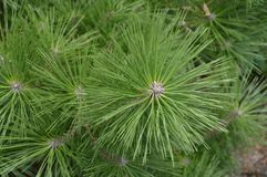 Close Up Of A Japanese Pinetree.  Stock Photography