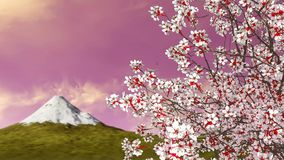 Sakura cherry tree in blossom and mount Fuji. Close-up of japanese sakura cherry tree crown in full blossom against mount Fuji and scenic sunset sky on a stock video