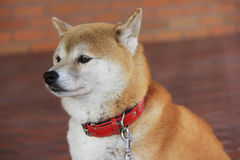 Close-up Japanese Shiba Inu dog. Close-up cute face of Japanese Shiba Inu dog in clear red background Royalty Free Stock Photos