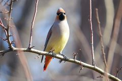 Japanese Waxwing Royalty Free Stock Photography