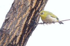 Japanese White-eye. The close-up of a Japanese White-eye stands on branch. Scientific name: Zosterops japonicus stock image