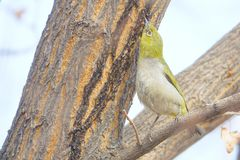 Japanese White-eye. The close-up of a Japanese White-eye stands on branch to eat myron. Scientific name: Zosterops japonicus royalty free stock image