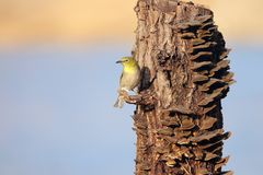 Japanese White-eye. The close-up of a Japanese White-eye stands on tree stool. Scientific name: Zosterops japonicus stock photos