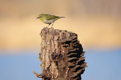 Japanese White-eye. The close-up of a Japanese White-eye stands on tree stool. Scientific name: Zosterops japonicus royalty free stock photography