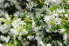Close up of jasmine bush stock images