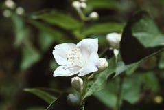 Close up jasmine flower in garden. Close up jasmine flower in a garden royalty free stock photography
