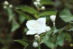 Close up jasmine flower in a garden.  stock photography