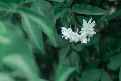 Close up of jasmine flowers in a garden, branch with white flowers stock image