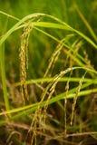 Close up jasmine rice paddy. Close up Rice farm, Rice field, Rice paddy, rice pants, Rice paddy Royalty Free Stock Photos