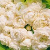 Close-up Jasminum sambac Stock Foto