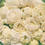 Close-up Jasminum sambac Stock Afbeelding