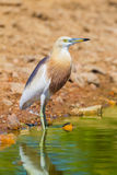 Close up of Javan Pond heron (Ardeola speciosa) Stock Images