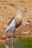 Close up of Javan Pond heron Stock Image