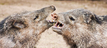 A Close Up of a Javelina Fight Stock Images