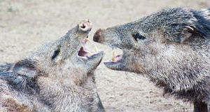 A Close Up of a Javelina Fight. A peccary fight, also known as javelina, the wild pig of the American desert stock photo