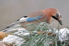 Close up of jay bird Stock Photo