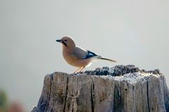 Jay. The close-up of a jay stands on tree stool. Scientific name: Garrulus glandarius Royalty Free Stock Image