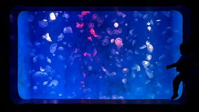 Close-up jellyfish, medusa in fish tank with neon light. Jellyfish is free-swimming marine coelenterate with a jellylike bell- or. Saucer-shaped body that is stock video footage